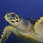 dive-candidasa-dive-bali-dive-nusa-penida--southern-dreams-diving-club-turtle.jpg