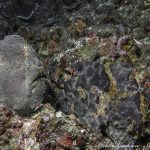 dive-candidasa-dive-bali-dive-tulamben-southern-dreams-diving-club-giant-frogfish-antennarius-commersoni