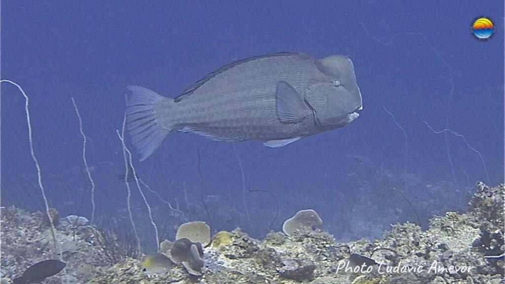 marine-life-bali-humphed-parrotfish