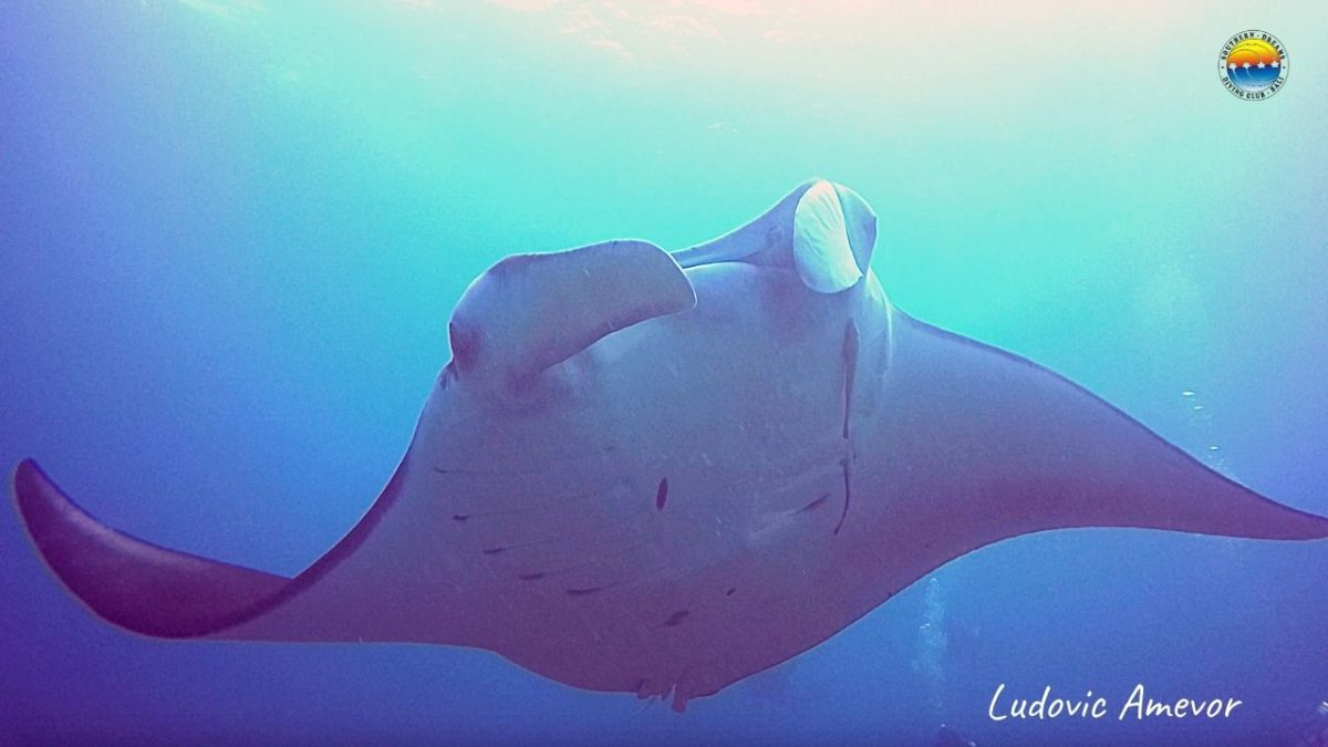 bali-diving-manta-ray