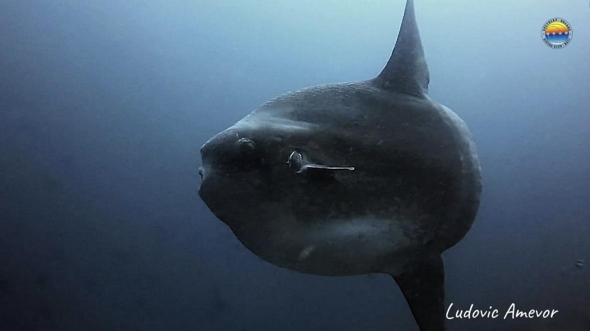 bali-diving-mola-mola