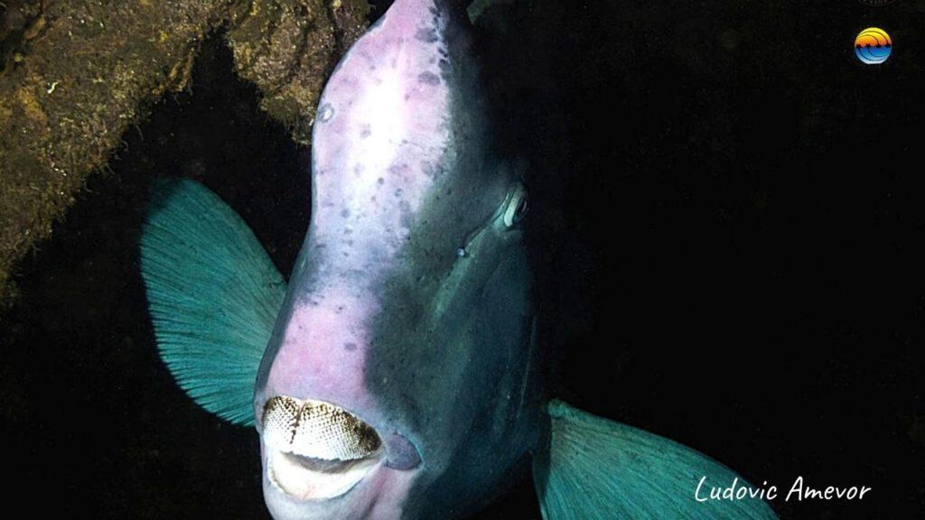 bali-diving-tulamben-humphead-parrrotfish