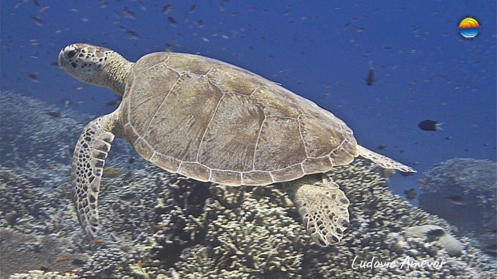 green-turtle