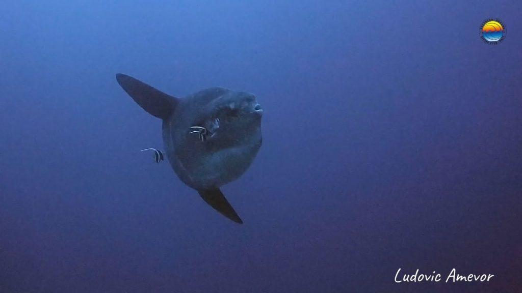 marine-life-bali-mola-mola