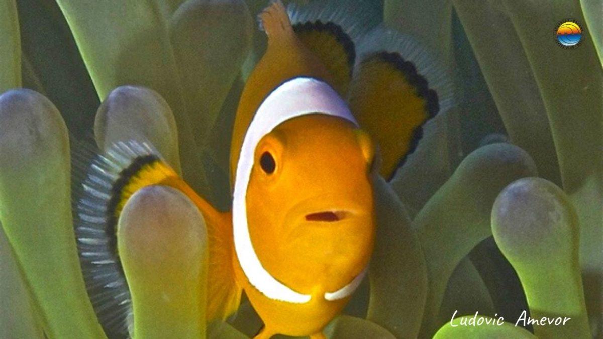 Bali-clownfish