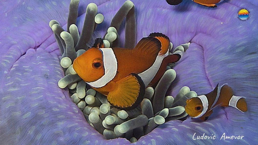 false-clownfish