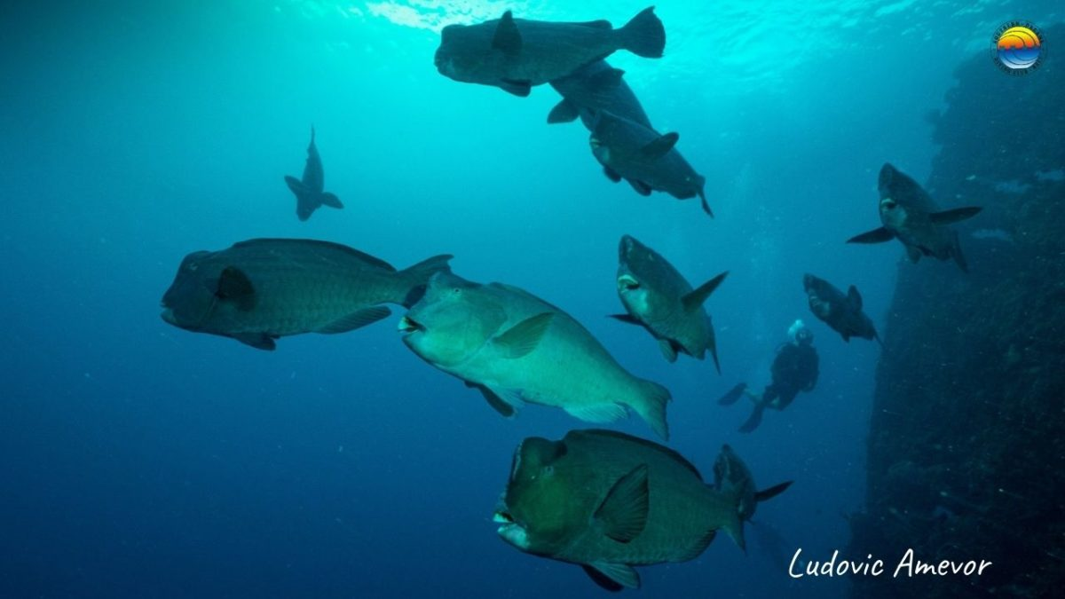 humphead-parrotfish