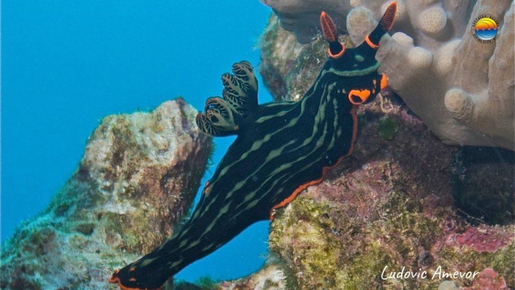 bali-nudibranch