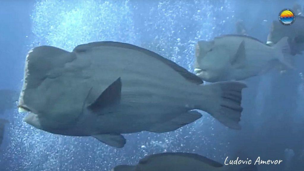 humphead-parrrotfish