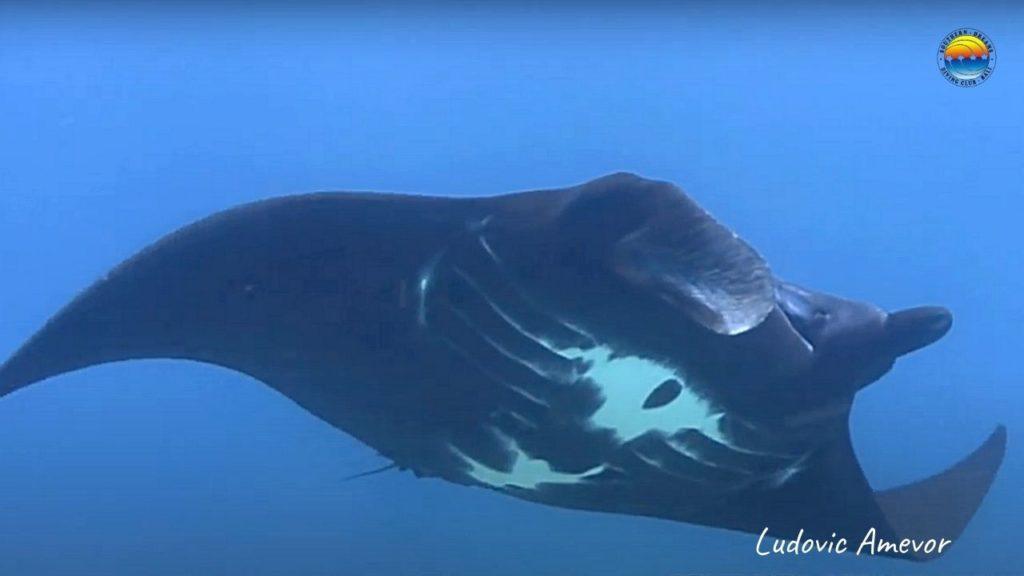 diving-bali-manta-ray