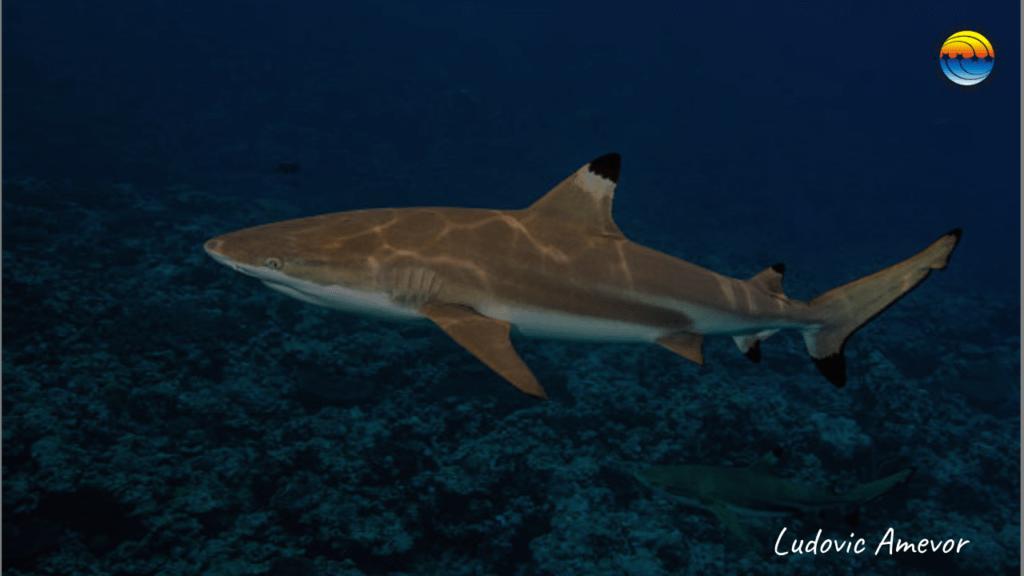 blacktip-sharks